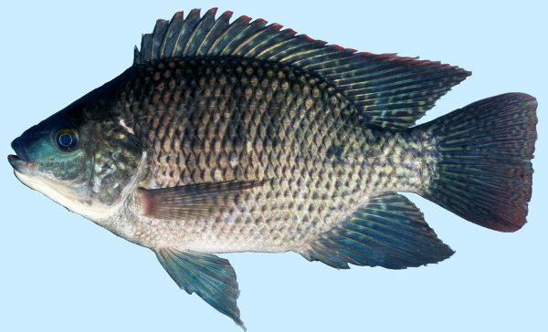 Tilapia USGS (Courtesy Howard Jelks, USGS).jpg